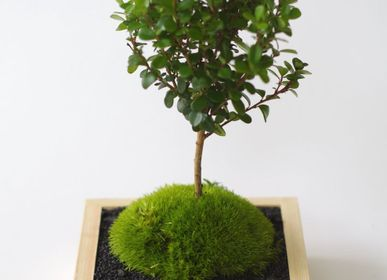 Decorative objects - Masumoss plant - AQUAPHYTE