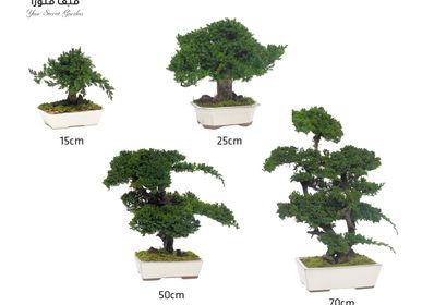 Decorative objects - decorative object Bonsai Procumbens - VIVA FLORA