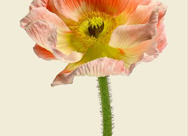 Art photos - Poppies - LILJEBERGS