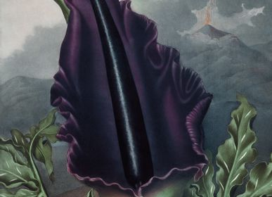 Poster - Poster Temple of Flora, Black Velvet. - THE DYBDAHL CO.