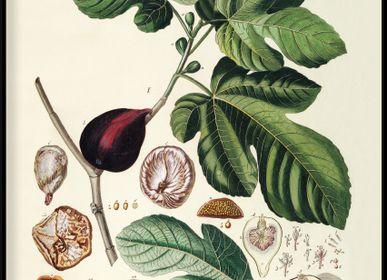 Poster - Poster Fruits, Ficus foliis palmatis. - THE DYBDAHL CO.