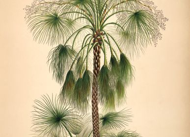 Poster - Poster Palmarum, Livistona humilis. - THE DYBDAHL CO.