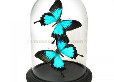Wall decoration - Papilio ulysses - butterfly decoration - Interior & Taxidermy - DMW.NU: TAXIDERMY & INTERIOR