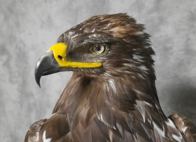 Sculptures, statuettes and miniatures - Steppe eagle - Decorative object - Taxidermy & Interior - DMW.NU: TAXIDERMY & INTERIOR