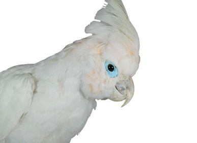 Decorative objects - Cockatoo taxidermy - decorative objet - Interior & Taxidermy - DMW.NU: TAXIDERMY & INTERIOR