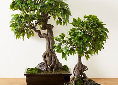 Floral decoration - BONSAI FICUS - LOU DE CASTELLANE
