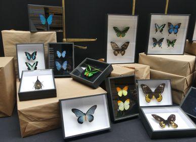 Objets de décoration - Cadre entomologique, papillon, cabinet de curiosités - METAMORPHOSES