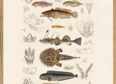 Poster - Zoologia Danica. Fiske VII. - THE DYBDAHL CO.