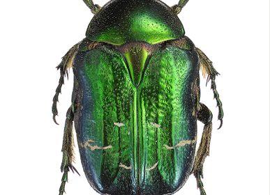 Affiches - Les coléoptères - LILJEBERGS