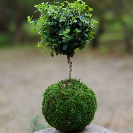 Decorative objects - Eco Pochi & Koke Pochi - AQUAPHYTE