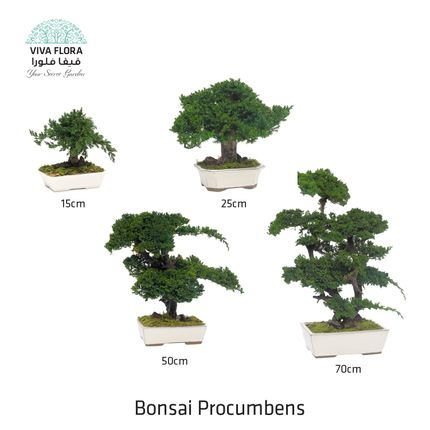 Decorative objects - Bonsai Procumbens - VIVA FLORA