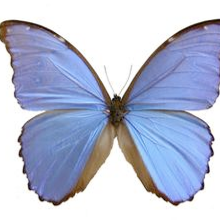Wall decoration - Morpho Didius - DMW.NU: TAXIDERMY & INTERIOR