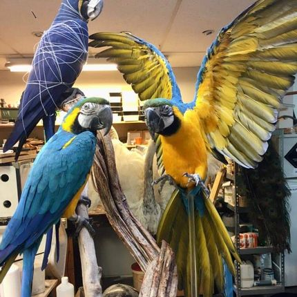 Unique pieces - Parrot taxidermy - Colourful decorative object  - DMW.NU: TAXIDERMY & INTERIOR